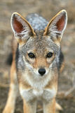 Black-backed Jackal. Canis mesomelas Portrait of Pup Royalty Free Stock Photos