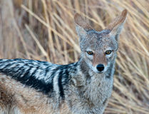 Black backed Jackal Royalty Free Stock Image