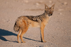 Black-backed jackal. Medium-sized (ca. 6-12kg) doglike carnivore, dark, white-flecked 'saddle' on back' most oftail black; fairly large, pointed reddish-backed Stock Images