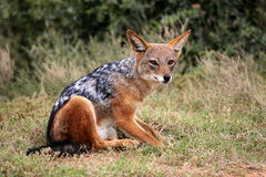 Black backed jackal Stock Image