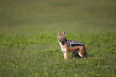Black-Backed Jackal. A Black-backed Jackal looking at the camera, Addo Elephant National Park Royalty Free Stock Photo