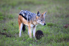 Black-Backed Jackal. A Black-backed Jackal looking into the distance, Addo Elephant National Park Stock Image