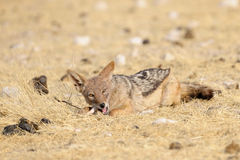 Black-backed Jackal. Chewing on a bone Stock Image