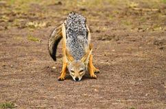 Black- backed jackal. In wildlife Kenya Stock Image