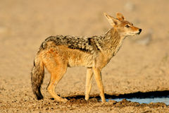 Black-backed Jackal Royalty Free Stock Image