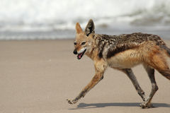 Black-backed Jackal. (Canis mesomelas) running over the beach in Namibia stock photos