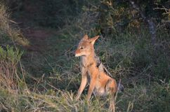 Black Backed Jackal in Addo Elephant National Park. A black-backed jackal sits in a patch of sun in a little clearing in Addo Elephant National Park, Eastern royalty free stock photography
