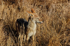Black-backed Jackal in Africa. A wild blackbacked jackal photographed in Mpumalanga, South Africa Royalty Free Stock Photography