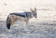Black-backed Jackal in Africa on the Plains of Bostwana Royalty Free Stock Images