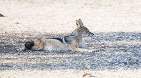 Black-backed Jackal in Africa on the Plains of Bostwana Stock Photo