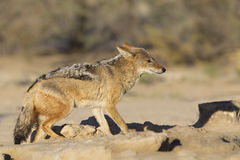 Black backed Jackal Royalty Free Stock Photography