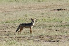 A black backed Jackal Stock Photos