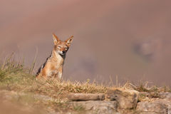 Black backed jackal approaching Royalty Free Stock Photo