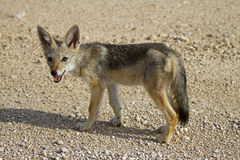 Black-backed jackal baby Royalty Free Stock Photography