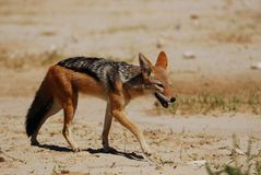 Black-backed Jackal (Canis mesomelas) Royalty Free Stock Image