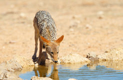 Black-backed Jackal (Canis mesomelas) Royalty Free Stock Photo