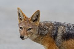 Black-backed jackal (canis mesomelas) Royalty Free Stock Photography