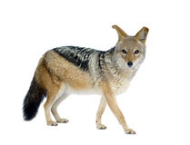 Black-backed jackal () - Canis mesomelas Royalty Free Stock Photo