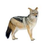Black-backed jackal () - Canis mesomelas Stock Images