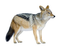 Black-backed jackal () - Canis mesomelas Royalty Free Stock Photography