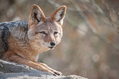 Free Black-backed Jackal Canis Mesomelas Stock Photos - 86676843