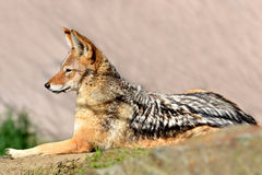Black-backed jackal. Canis mesomelas Royalty Free Stock Images