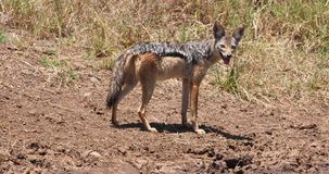 Black Backed Jackal, canis mesomelas, Adult standing on Trail, Nairobi Park in Kenya, Real Time. 4K stock video footage