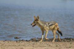 Black-backed Jackal - Canis mesomelas. Beautiful carnivores from African bushes, deserts and grasslands, Etosha National park, Namibia stock photos