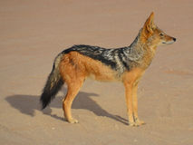 The black-backed jackal Royalty Free Stock Photography