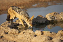 Black backed Jackal Royalty Free Stock Images