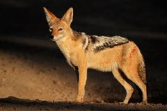 Black-backed Jackal. (Canis mesomelas) in early morning light, Kalahari desert, South Africa royalty free stock photos