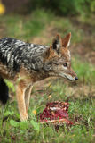 Black-backed jackal (Canis mesomelas). Royalty Free Stock Image