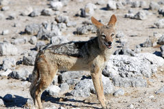 Black-backed Jackal Royalty Free Stock Photography