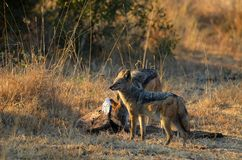 Black-backed jackal (Canis mesomelas) Stock Image