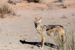 Black-backed jackal (Canis mesomelas) Stock Photography
