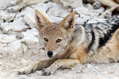 Black-backed jackal (Canis mesomelas) lying in Etosha park Stock Photography