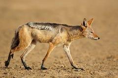 Black-backed jackal Stock Photos