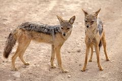 Black backed jackal (Canis mesomelas). Black backed jackal oe silver backed jackal (Canis mesomelas), male and female, in the african savanna stock image
