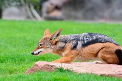 A black-backed Jackal (Canis mesomelas). Royalty Free Stock Image