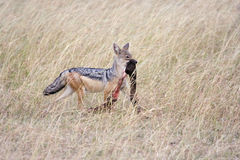 Black-backed Jackal (Canis mesomelas) scavenging. Royalty Free Stock Images