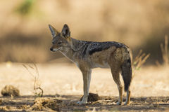 Black-backed Jackal (Canis mesomelas) Royalty Free Stock Photos