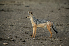 Black-backed jackal, Canis mesomelas, Royalty Free Stock Images