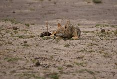 Black-backed Jackal (Canis mesomelas) sleeping Royalty Free Stock Images