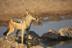 Black backed Jackal Royalty Free Stock Photos