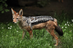 Black-backed jackal (Canis mesomelas). Stock Images