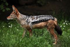 Black-backed jackal (Canis mesomelas). Stock Photos