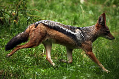 Black-backed jackal (Canis mesomelas). Stock Photography