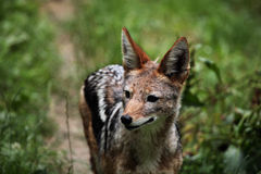 Black-backed jackal (Canis mesomelas). Royalty Free Stock Images