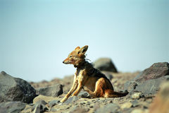 Black-backed jackal, Cape Cross, Namibia. Jackals are hunting for fur seal babies on the coast of Namibia Royalty Free Stock Image