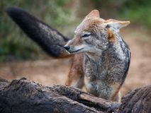 Black Backed Jackal at carcass. Black backed jackal standing at the carcass of a dead elephant Stock Photo